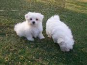 Magnificent Maltese puppies available now (636) 321-7522