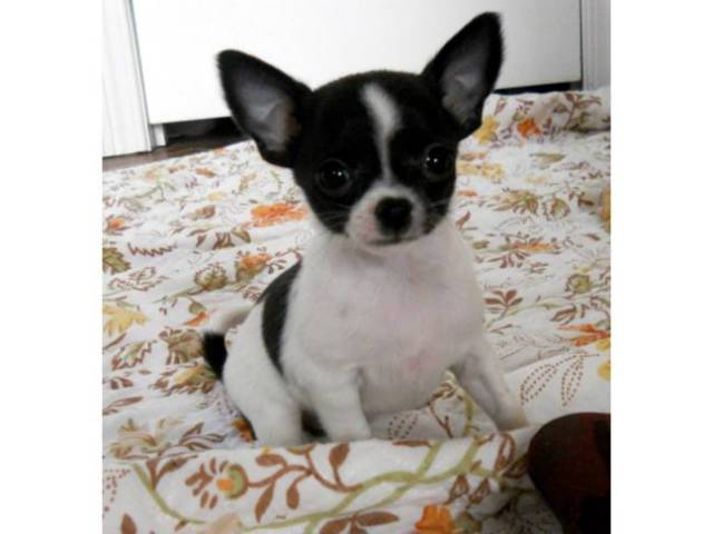 TINIEST MICRO TEACUP CHIHUAHUA MALES & FEMALES UNDER 3 5 LBS GROWN