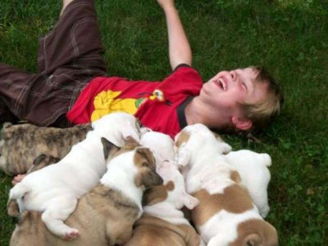 Potty Trained English Bulldog Puppies Houston Animal Pet