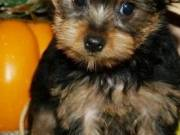 male and female Yorki puppies
