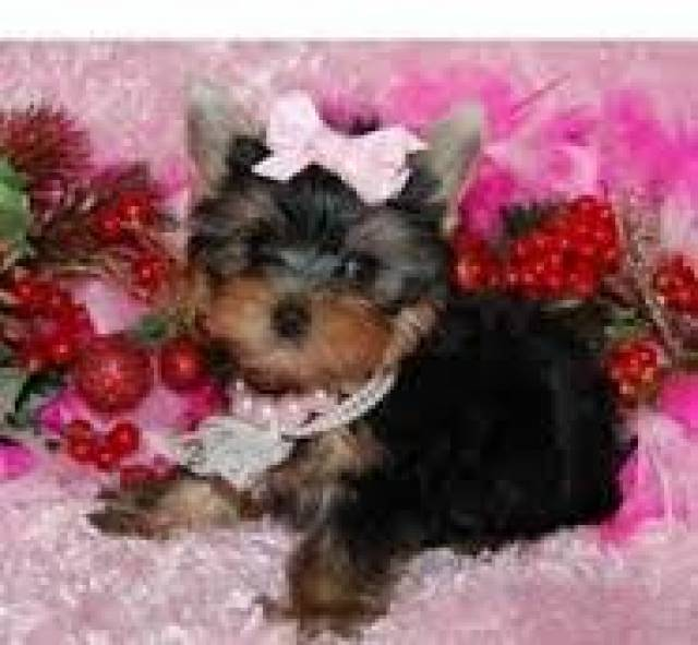 Baby Face Teacup Yorkie Puppies Text567 206 7204 Richmond