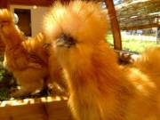 Bearded bantam Silkie Chicks Available Year-Round