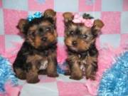 Attractive Male and female Yorkshire Terrier puppies