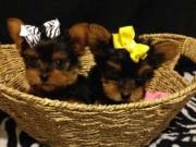 Cute and Playful Male and Female Yorkie Puppies (605) 309-0383
