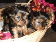 Two Awesome Teacup Yorkie puppies for adoption Text (478) 257-2152
