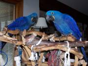 Black Palm Cockatoo, Hyacinth Macaw Parrots And Fresh Laid fertile Eggs For Sale.