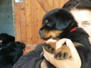Black and Brown Rottweilers for Adoption(314-202-5058