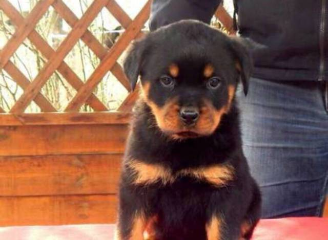 Pure Breed Rottweiler Puppies314 202 5058 Boise Animal Pet