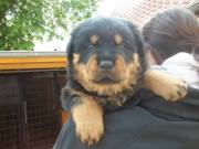 Potty Trained Rottweiler Puppies(314-202-5058