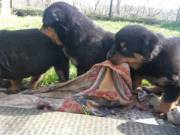 Healthy Rottweiler Puppies Available(314-202-5058