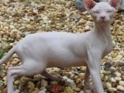 Adorable Sphynx kittens for adoption