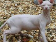 quality sphynx cats and kittens for rehomming