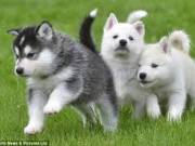 Lovely huskies ready for their new homes...