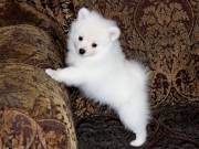 amazing pomeranians for rehoming