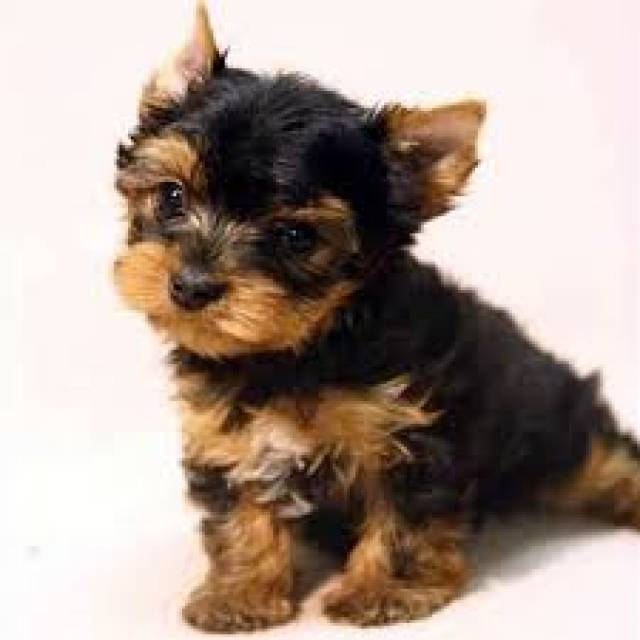 Cute And Adorable Teacup Yorkie Puppies For Adoptionfree