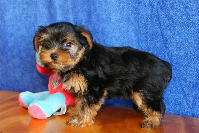 Ckc And Akc Reg Adorable Teacup Yorkie Puppies For Adoption