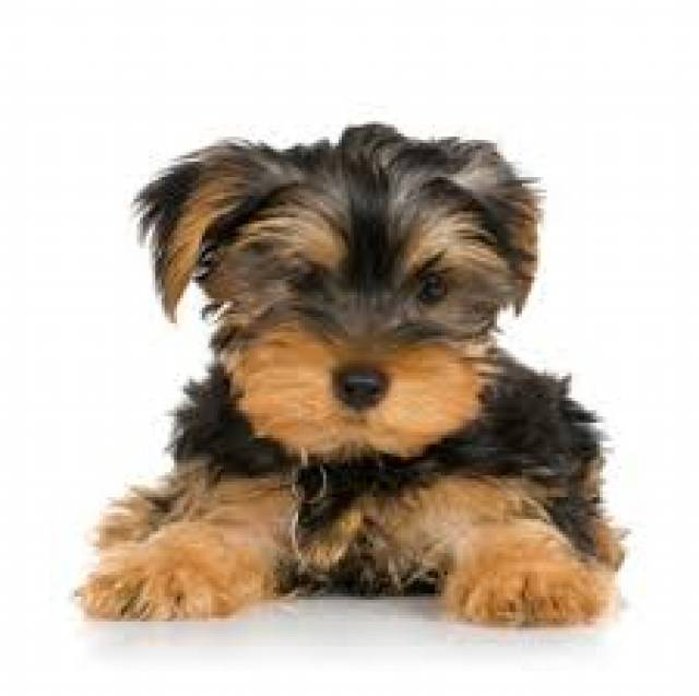 Cute Teacup Yorkie Puppies For Free Adoption Rethermoorison28