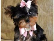 Adorable Potty/home trained Yorkshire Terrier puppies For Adoption  (rethermoorison28@gmail.com)