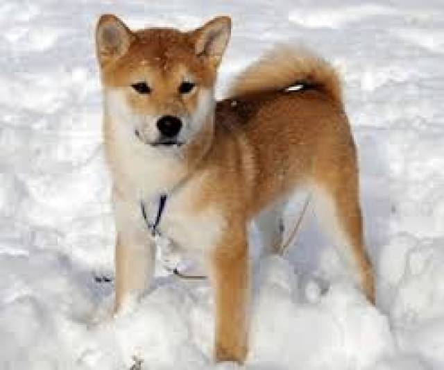 We Have Teacup Shiba Inu Our Teacup Shiba Inu Are Absolutely