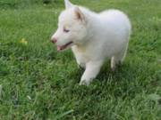 VERY ACTIVE AND PLAYFUL MALE AND FEMALE BLUE EYES SIBERIAN HUSKY  PUPPIES(814)920-8091
