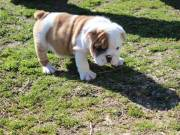 FREE Cuttie English Bulldog Puppies