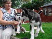 adorable lovely siberian husky puppies for a new home