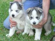 lovely siberian husky puppies for a new home