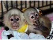 BlackCap and white faced Capuchin Monkey.(302)417-2233