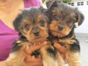 Perfect size Y0RKSHIRE Terrier puppies ready to Go - ☎ 804-597-0413