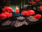 Aquarium BD Rays, Super Red, And Golden Arowana, King Kong Mammon Parrots Fish