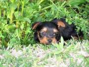 Family trained Yorkie Puppies ready for new homes