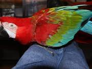 Green Wing Macaw Female Fully Trained Talker