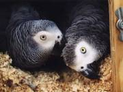 African Congo Greys Redtail Proven Pairs