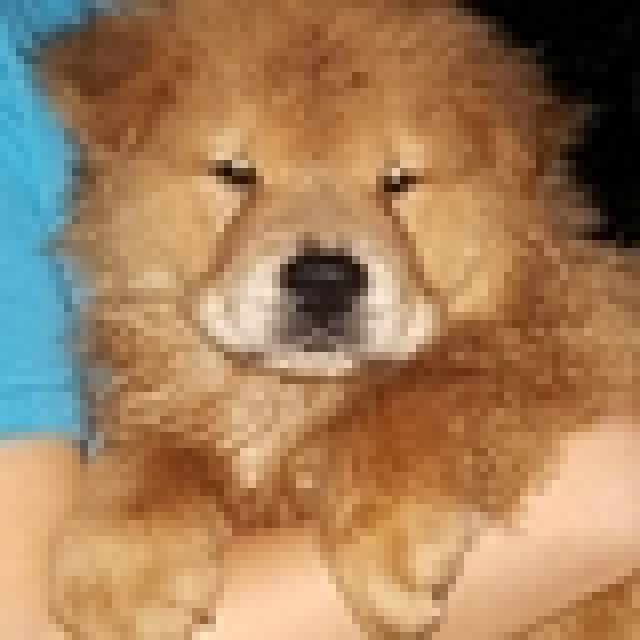 Adorable Male And Female Chow Chow Puppy For Adoption Text 310