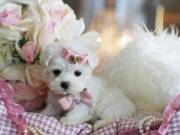 Maltese tiny puppies for new home(443) 267-8170