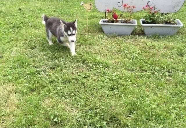 Zlnv Siberian Husky Puppies For Sale Detroit Animal Pet