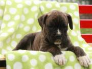 lovely boxer puppies for sale