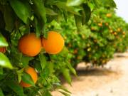 Purchase an Effective Product for Citrus Tree Disease Treatment