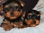 lovely Yorkshire puppies for sale
