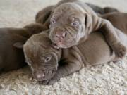 beautiful American Pitbull puppies for sale