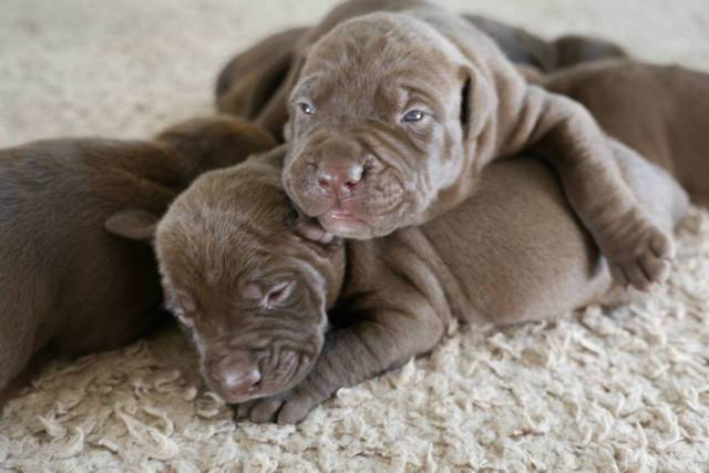 American Pitbull Puppies For Sale - West Monroe - Animal, Pet