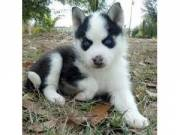 Male and female siberian husky puppies available