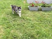 $Siberian husky Puppies For Adoption