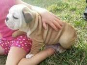 **CUTE Little Bulldog Puppies, Magnificent English Bulldog Puppies***TEXT (301)3752346 ////