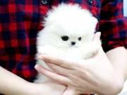 Attractive Pomeranian Puppies