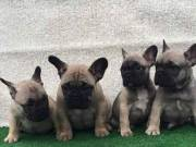 Potty Trained French Bulldog Puppies For Sale Text 443-563-1239