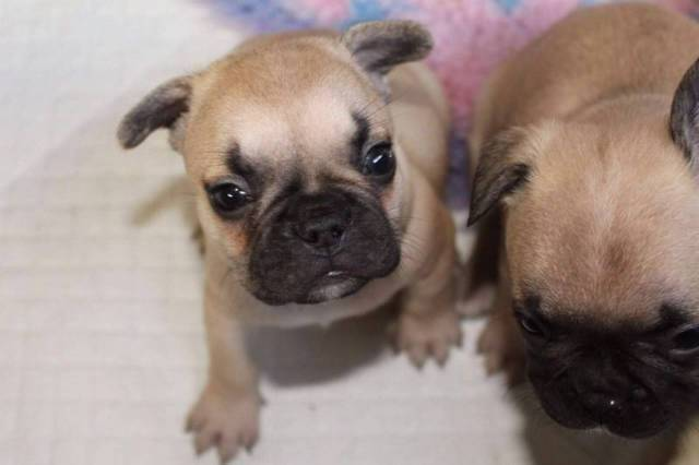 Adorable French Bulldog Puppies For Sale Text 443 563 1239