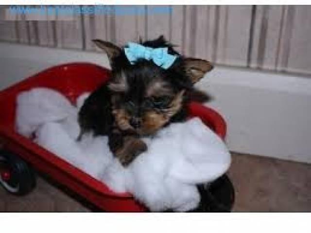 Cute Adorable Yorkie Puppies For Adoption Beebe Arkansas Miami