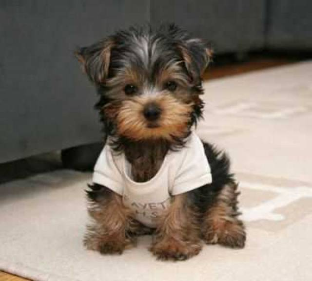 2 Adorable Yorkie Puppies For Free Adoption Miami Miamiflorida