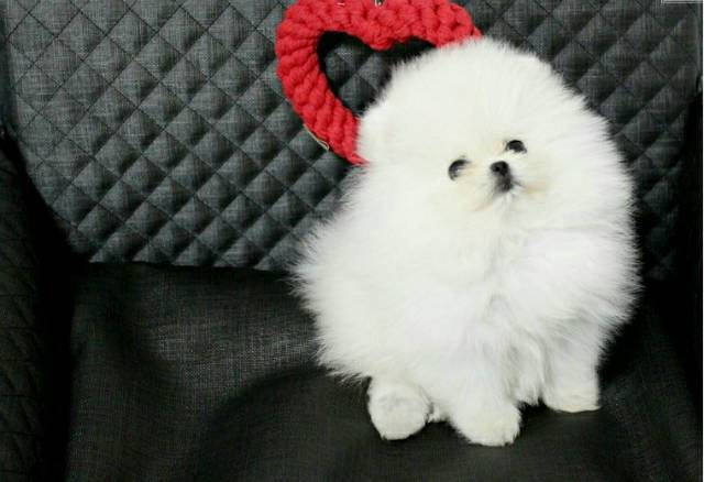 Your Dream Teacup Pomeranian Puppies Available For Adoption Text